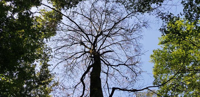 Regen, Trockenheit, Baumsterben, Buchenwald, Dürre, Trockenheit, Jahrhuntersommer
