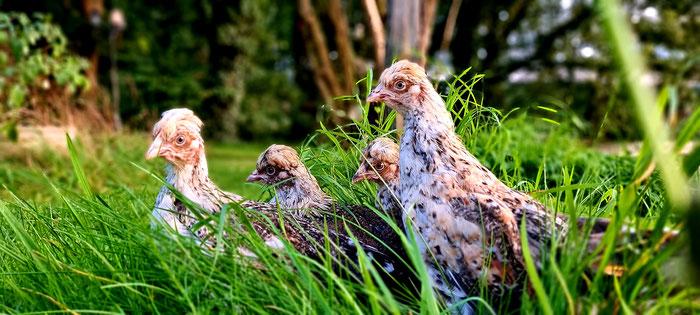 Schwedische;Blumenhühner;Hühner;Brut;Kunstbrut;Eier ausbrüten;Glucke;Brutkasten;Küken