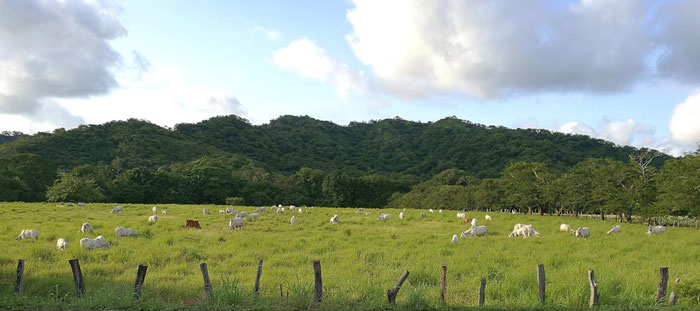 Happy cows in Guanacaste on the pasture