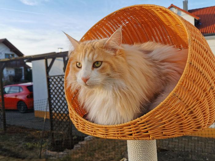 Mika von La-Lea-Lil, Norwegische Waldkatze, ambersilver-tabby-mackerel/white, 1,5 Jahre alt
