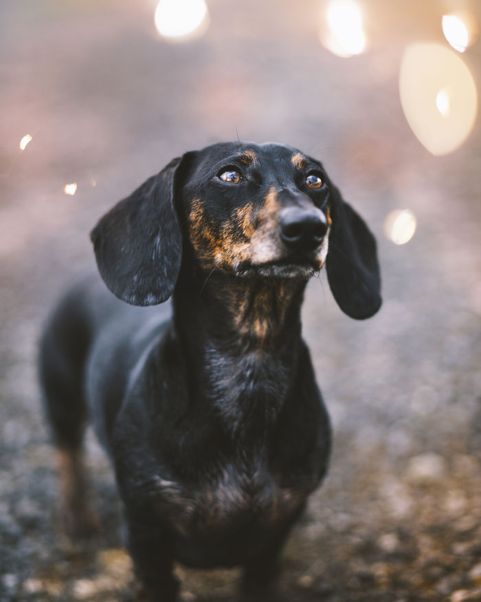 Mao - Black and tan brindle dachshund - Tierfotografie