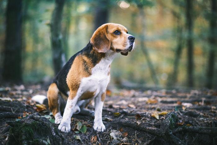 Tierfotografie - Beagle - Paul vom Glasbachtal