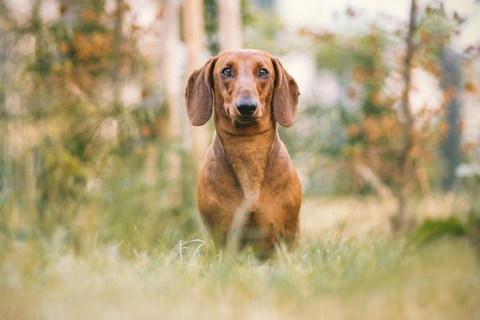 Tierfotografie - Dachshund - Q-Marie vom Rehsprung