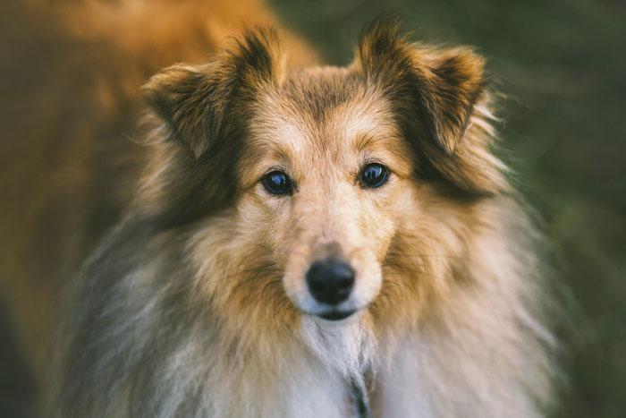 Shetland Sheepdog Lilly