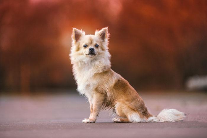 Tierfotografie - Chihuahua - Theo