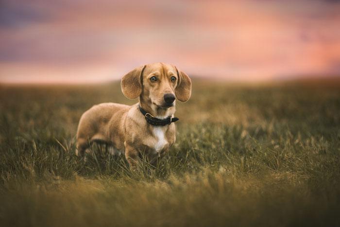 American dachshund Amerikanischer Dackel