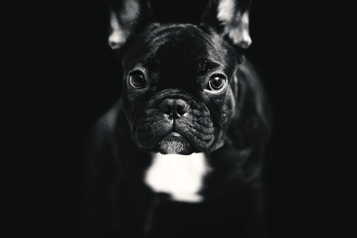 Tierfotografie - Französische Bulldogge - Arthur