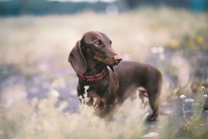 Paracord dog collar Hundehalsband