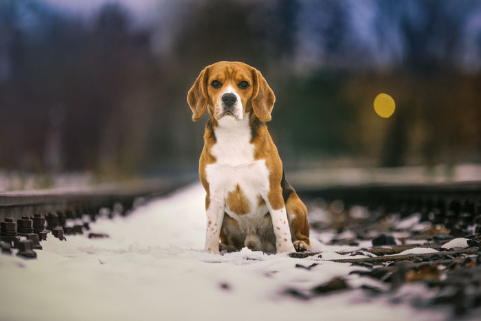 Beagle Paul vom Glasbachtal
