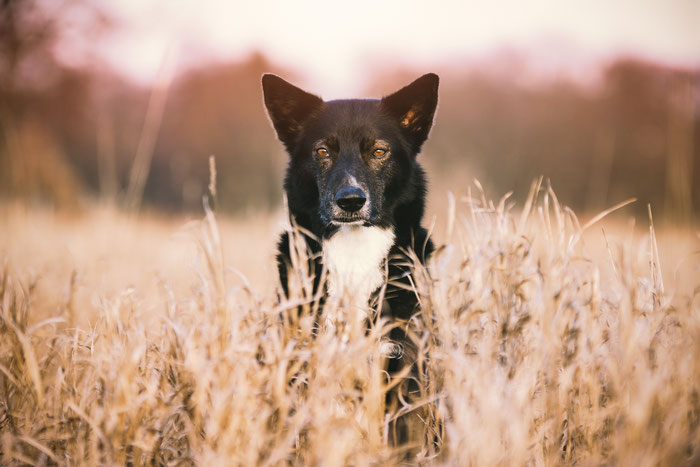 Alaskan Husky - Boss