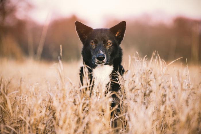 Tierfotografie - Alaskan Husky - Boss