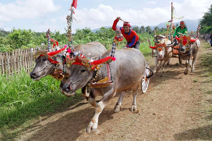Büffelrennen auf Bali. Canon EOS 7D. Copyright by Rolf Lohmann / www.bonnescape.de