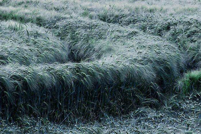 Windböen haben tiefe Schneisen in das Kornfeld gefräst. Copyright 2016 by Klaus Schoerner