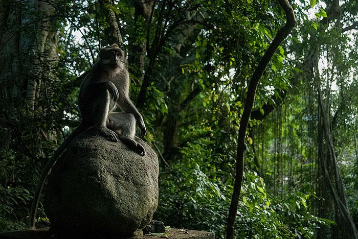 Männlicher Affe thront auf einem Stein im Affenwald von Ubud, Bali, Indonesien. Nikon F4. Foto: bonnescape 1993