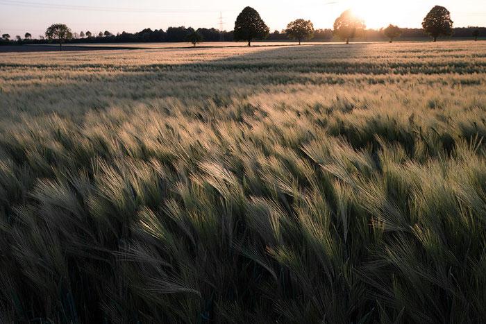 Getreidefeld im Rheinland: WISTA 45 SP Grossformatkamera. Foto: bonnescape.de