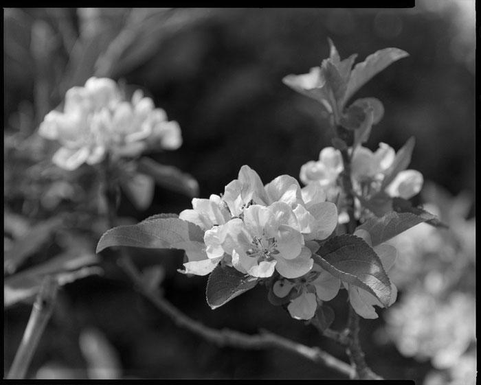 Großformatfotografie: Kirschblüten, Erftkreis 2021, Nahaufnahme SINAR F mit HELIAR 1:4.5/21 cm und rückseitig aufgestecktem LONGAR 225/572. Foto: bonnescape.de