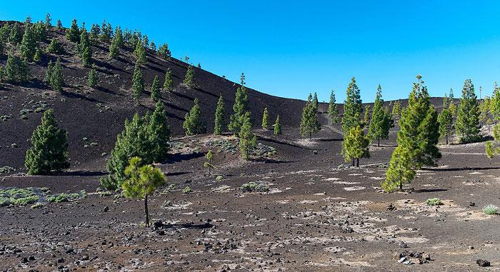 Baumgrenze am Teide-Nationalpark. Landschaftsfoto mit Leica M9 und 50 mm Summicron. Foto: Klaus Schoerner