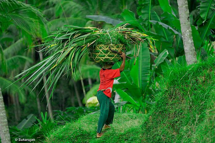 Balinesischer Bauer mit rotem T-Shirt trägt Korb mit Grünschnitt auf dem Kopf. Copyright 2008 by Klaus Schörner