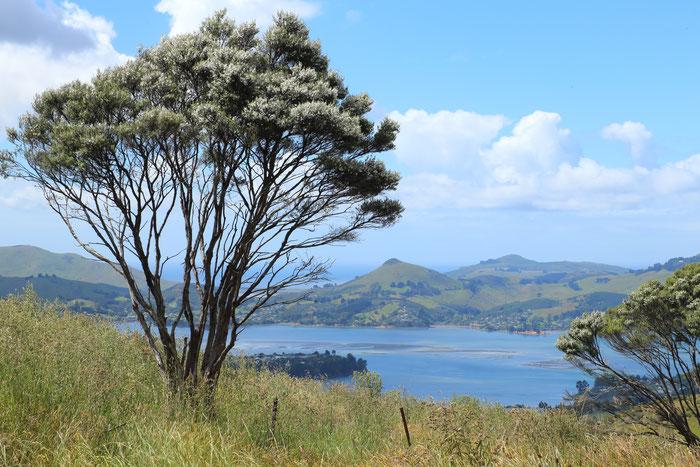 Manuka tree north of Dunedin, Otago, NZ