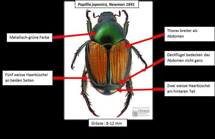 Popillia Japonica / Japan Käfer / Neobiota Spürhunde / Invasive Arten