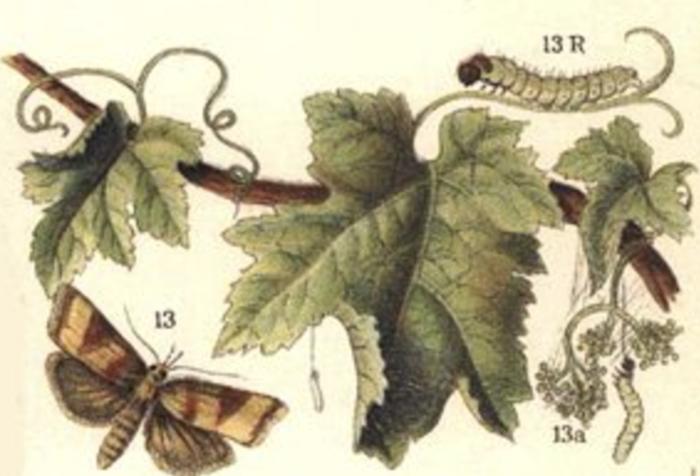 Les chenilles de la vigne ou vers de la grappe  - Histoire de la lutte contre les maladies de la vigne