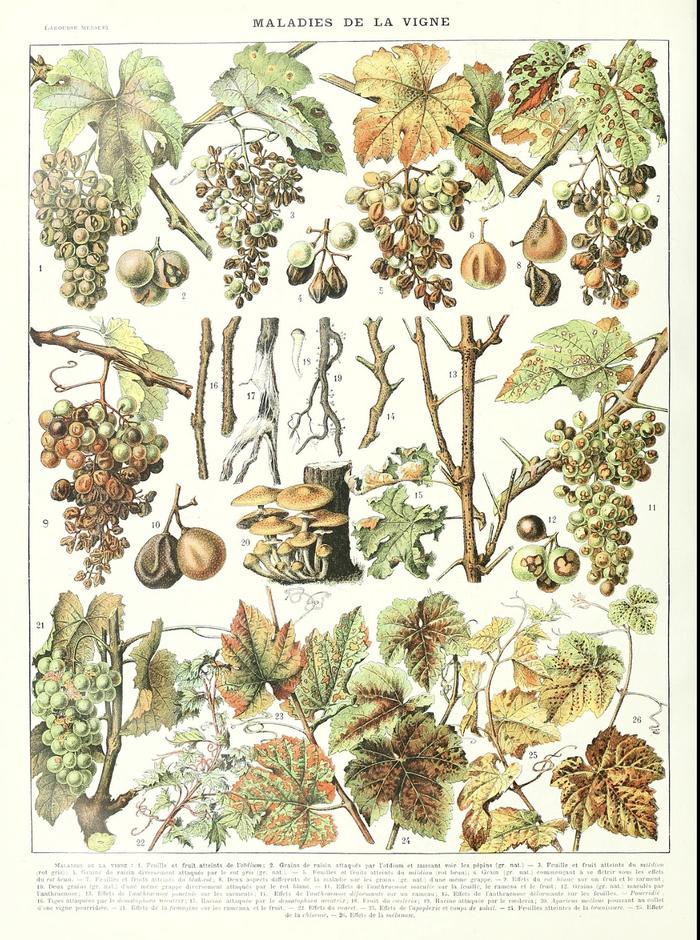 Les dégâts des maladies de la vigne dont en 1 et 2 l'oïdium.