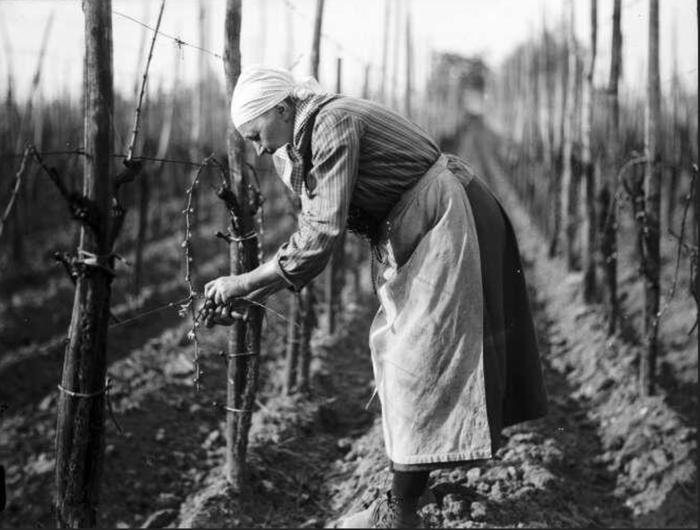Vignoble alsacien, liage des sarments sur vigne palissée - sans date ( avant 1947) 8 Z 319 - Fonds BLUMER - Archives de la Ville et de l'Eurométropole de Strasbourg