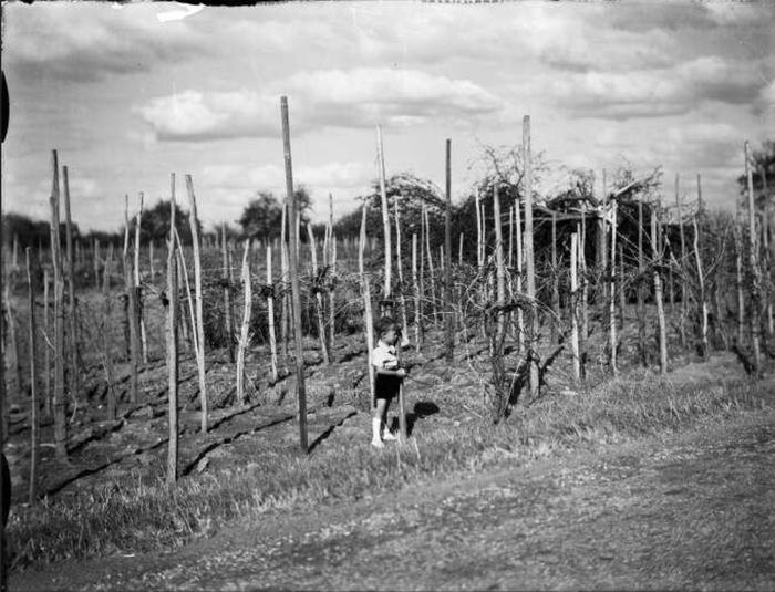 Vignoble alsacien, jeune garçon dans les échalas. - (sans date) avant 1947 - Fonds BLUMER 8 Z 325 - Archives de la Ville et de l'Eurométropole de Strasbourg