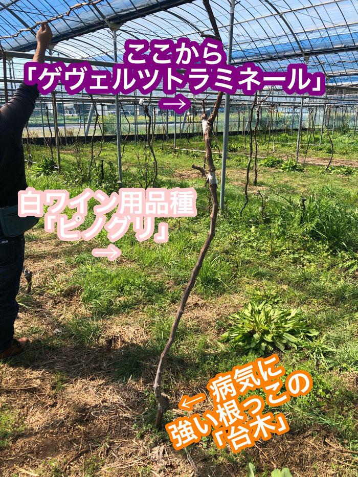 香月ワインズ2019年春の畑 接ぎ木4