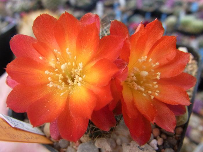 Sulcorebutia vasqueziana ssp losenykiana