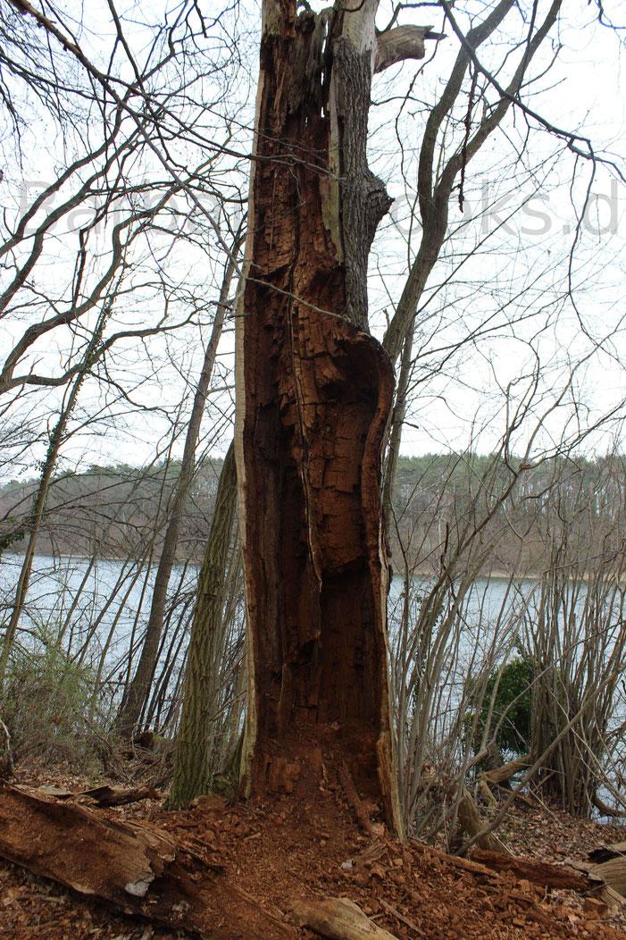 Morbider Scharm des Wanderweges zeigt sich in den vielen ausgehölten oder vom Sturm umgerissenen Bäumen.