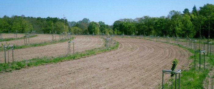 Agroforstsystem in Keyline Design in Brandenburg, baumfeldwirtschaft.de, Foto: Dipl.-Fw. Philipp Gerhardt