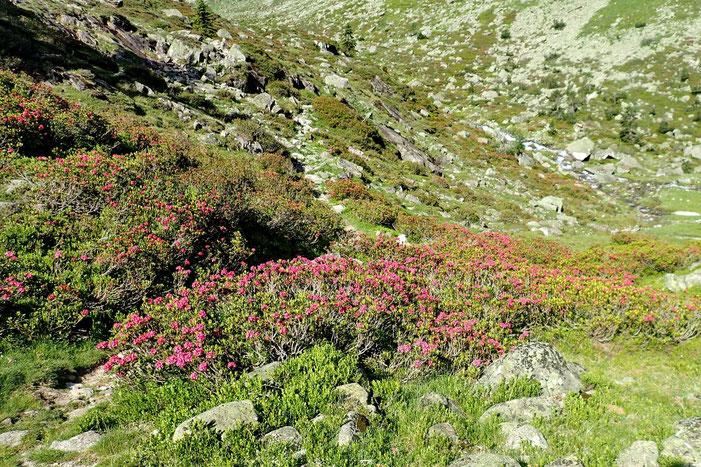 Montée vers les lacs de Liantran au milieu des rhododendrons en fleur.