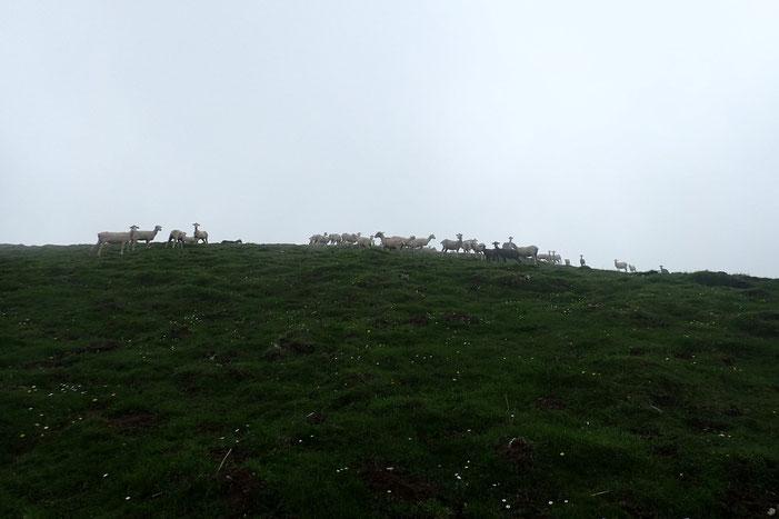 Au milieu des ovins...