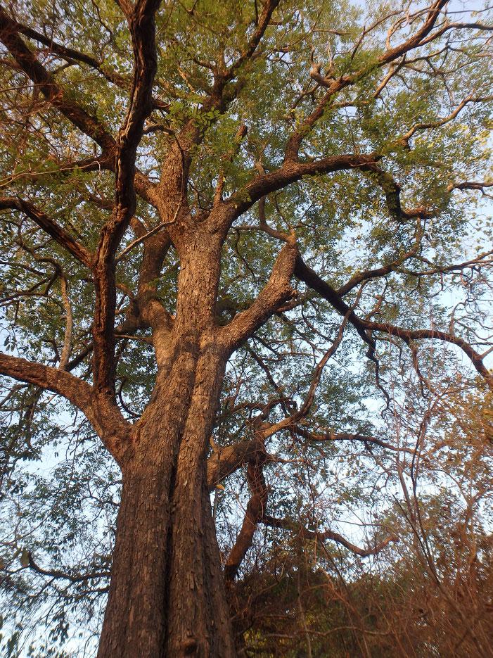 African rose wood, Tumani Tenda