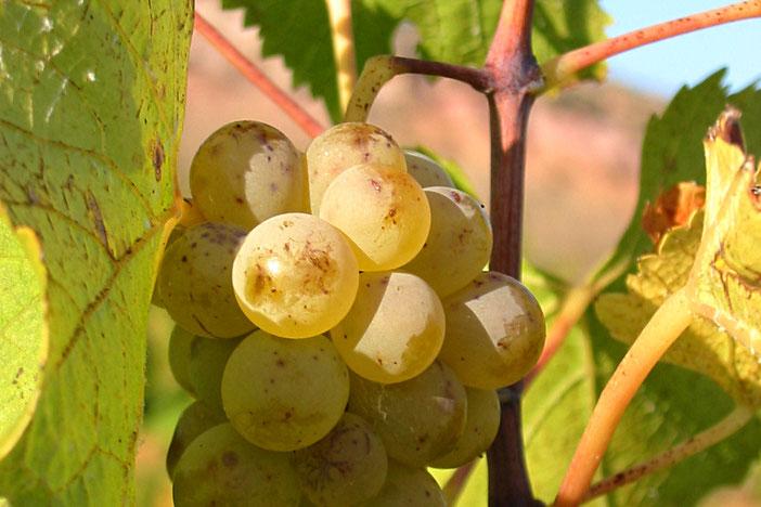 Vignes et raisins à Campagne sur Aude