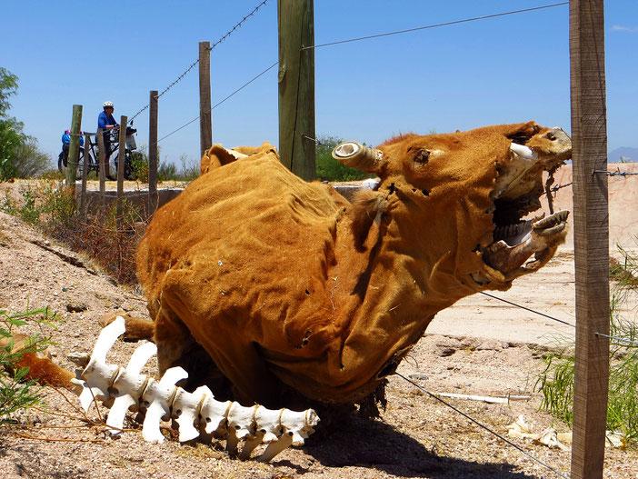 Die Region ist im Sommer heiss und trocken. Fehlt ein Rind, fällt das kaum auf.