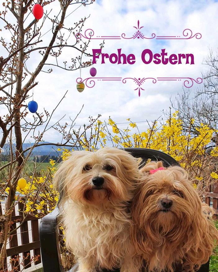 zwei Hunde vor blühenden Forsythien