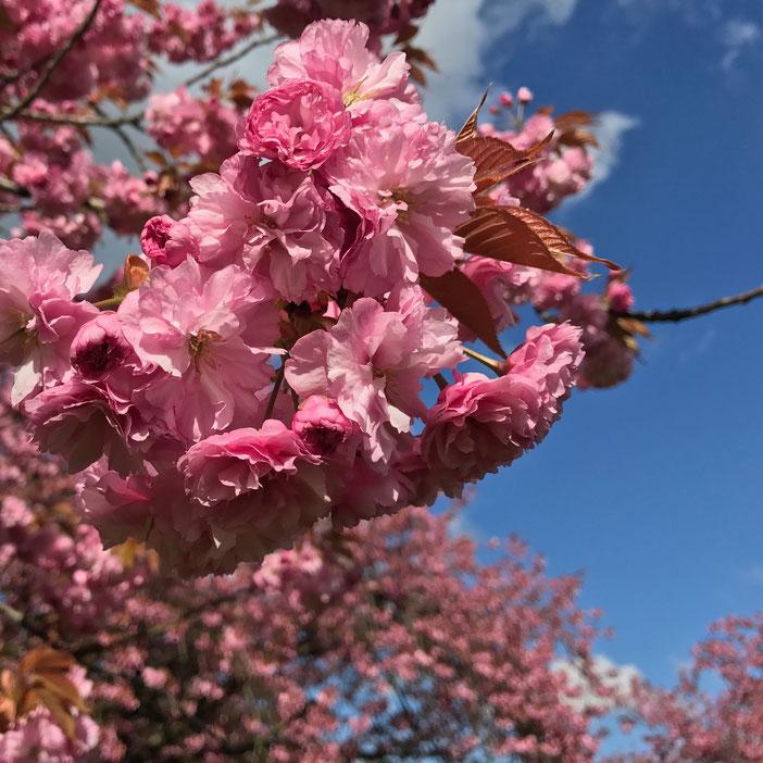 Die Kirschblüte im Lilienthalpark Berlin in Lichterfelde by KamiKatze Nina