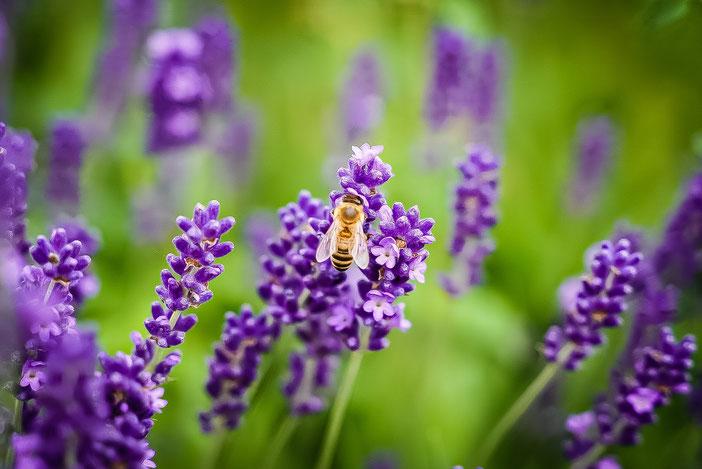 ienenzuchtverein Merkstein, Biene, Lavendel, Bienenzucht, Honig, Merkstein, Imkerei