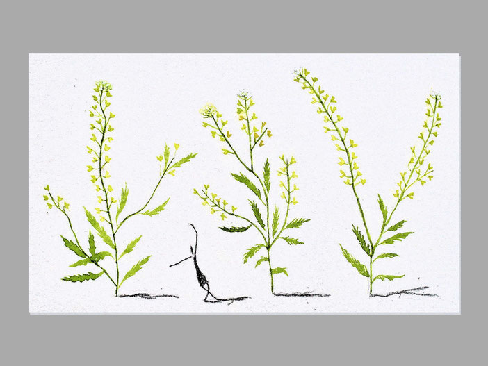 ナズナ アブラナ科の越年草