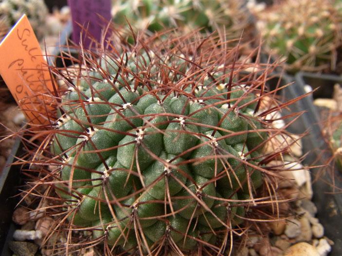 Sulcorebutia pulchra v longspina HS 78a