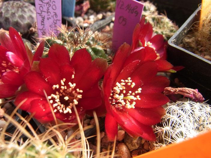 Sulcorebutia tarijensis ssp carichimayuensis HE 215