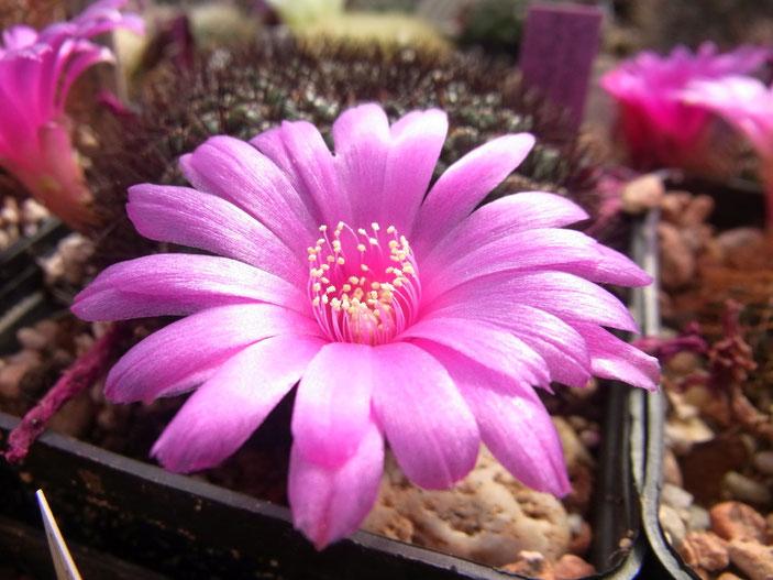 Sulcorebutia mentosa HS 48 form mit schwarzer Bedornung und pinkfarbener Blüte