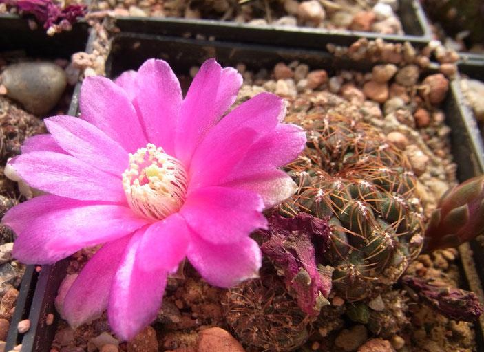 Sulcorebutia pulchra HS 78