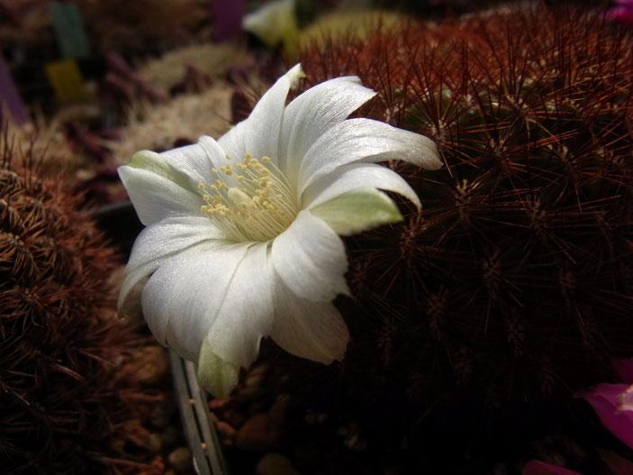 Sulcorebutia mentosa HS 48, form mit schwarzer Bedornung und weisser Blüte