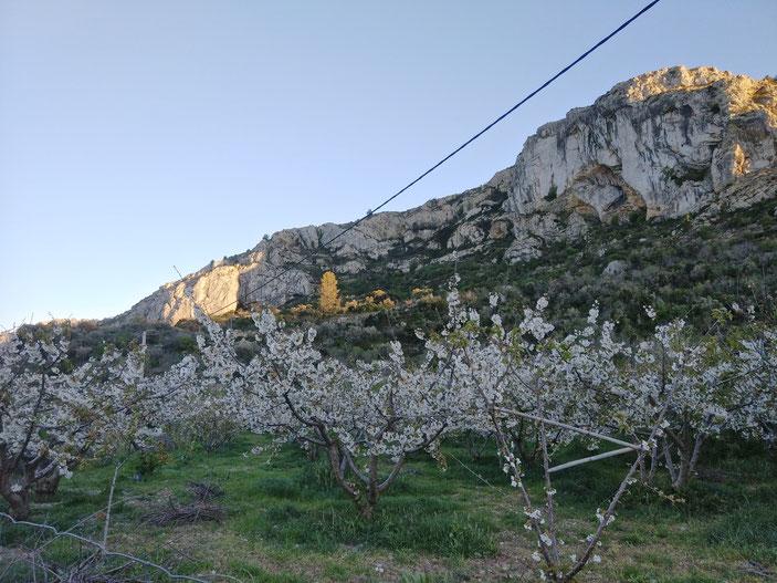 Los cerezos y la montaña que recorre los pueblos de la Vall de Laguar (El Campell, Fleix y Benimaurell)