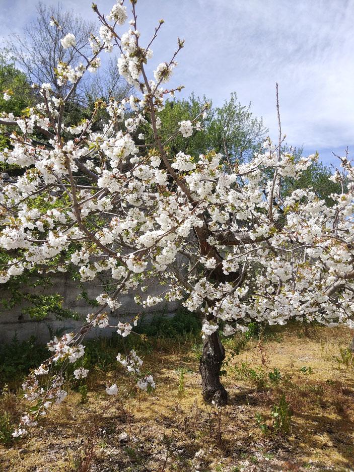 Las flores de los cerezos. La belleza natural de cada primavera en el interior de la Marina Alta