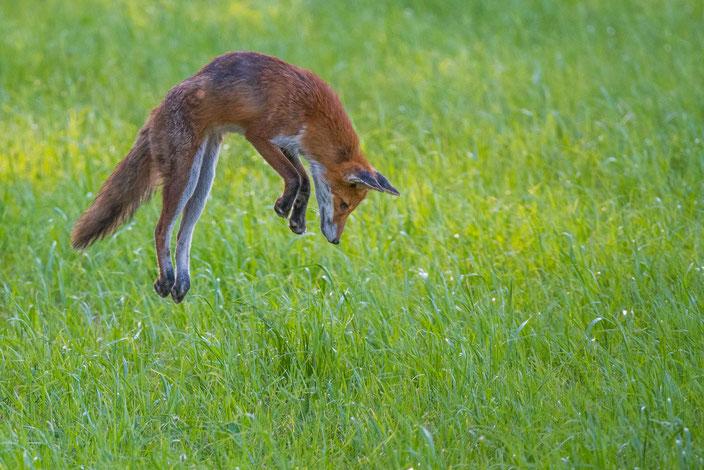 Jump des Tages, Fuchs auf Beute-Jagd