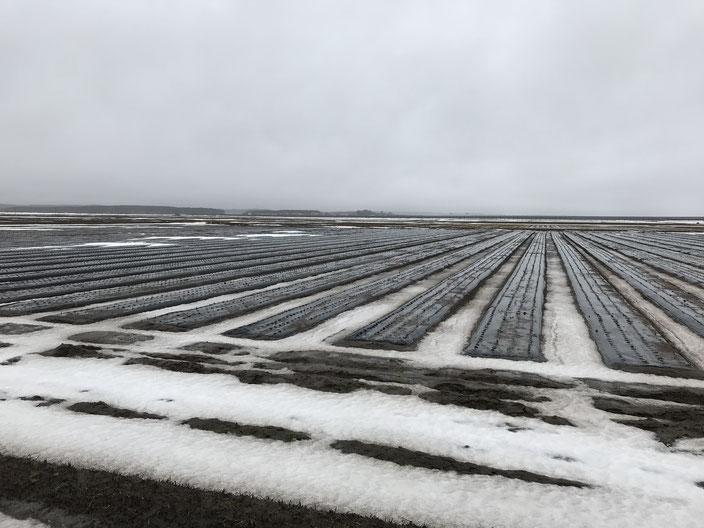 にんにく畑が雪解けし畝が見えてきました